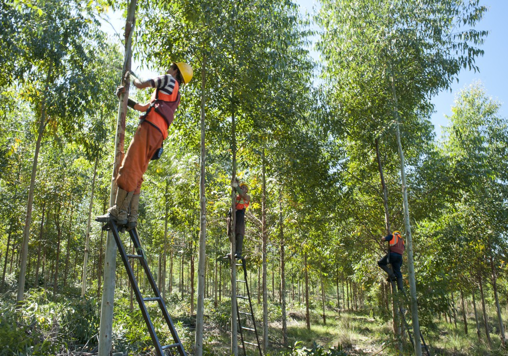 Workers pruning eucalyptus trees on a plantation