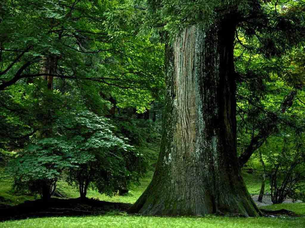 timber tree